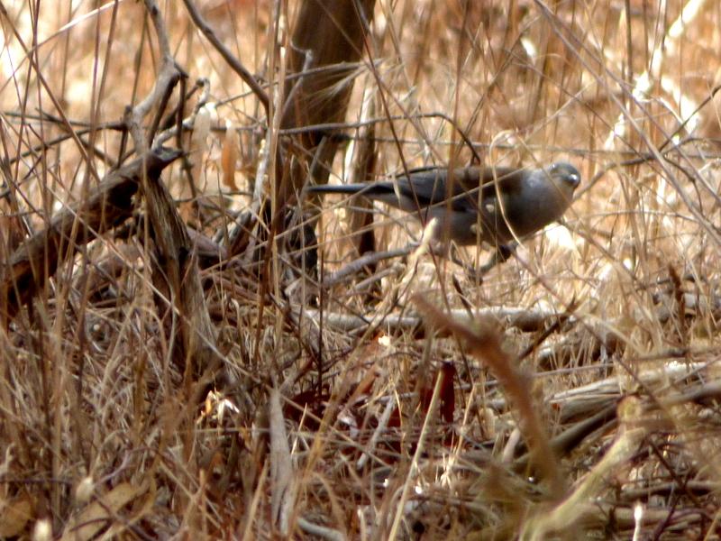 Grey Shrike Thrush? - Katmun Loh