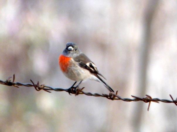 Scarlet Robin female - Katmun Loh
