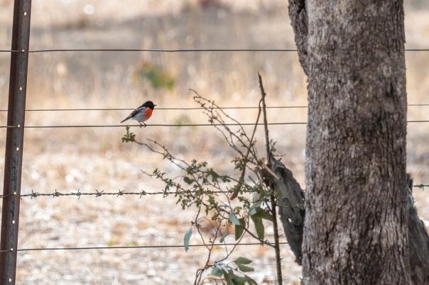 Scarlet Robin male - Bevan Hood