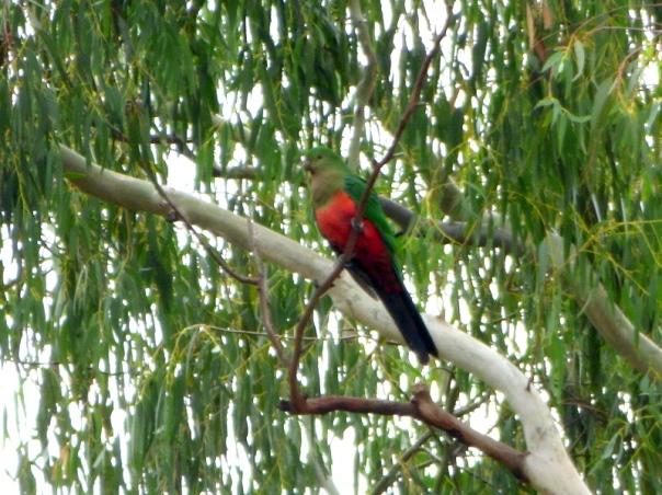 Australian King Parrot - Katmun Loh