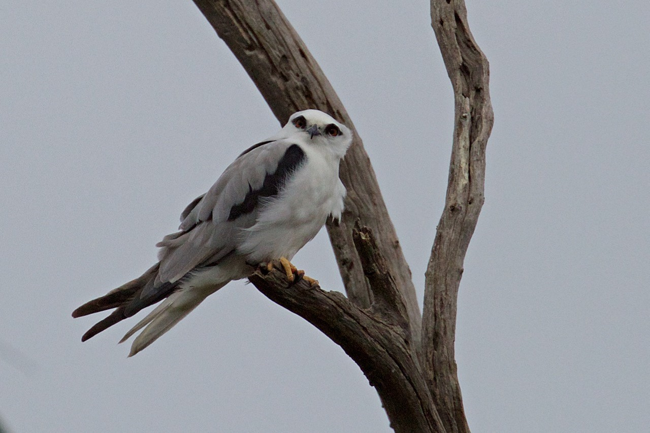 Black-shouldered Kite - Eleanor Dilley