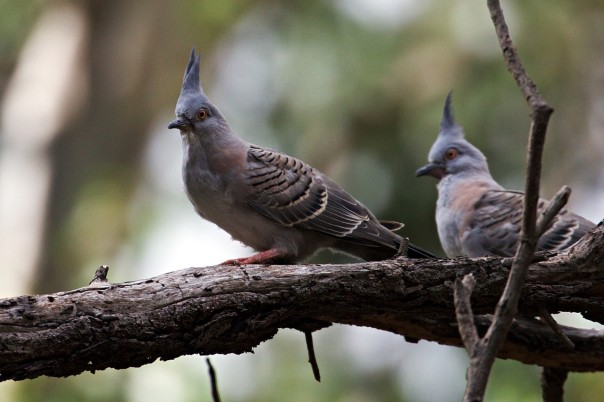 Crested Pigeons - Eleanor Dilley