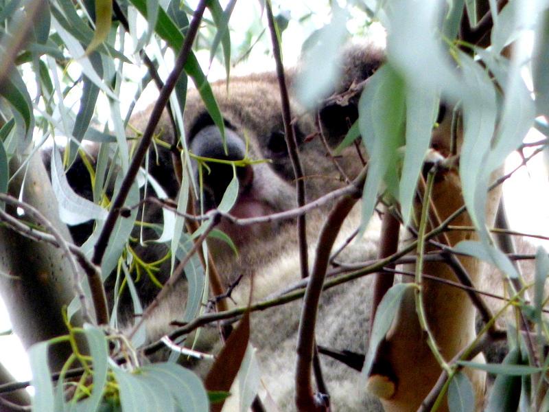 Koala - Katmun Loh