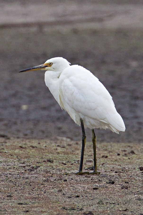 Little Egret - Eleanor Dilley