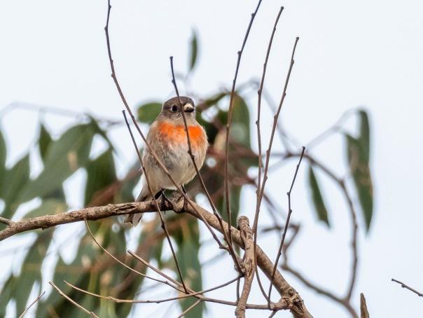 Scarlet Robin - female - Bevan Hood