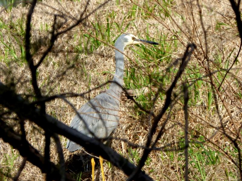 White-faced Heron - Katmun Loh