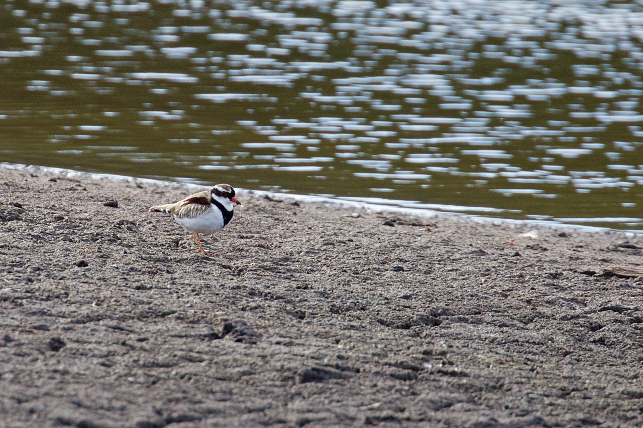 Black-fronted Dotterel - Eleanor Dilley