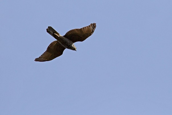 Brown Goshawk - Eleanor Dilley