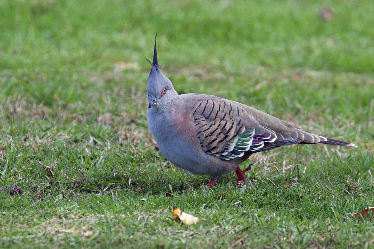 Crested Pigeon - Elenaor Dilley