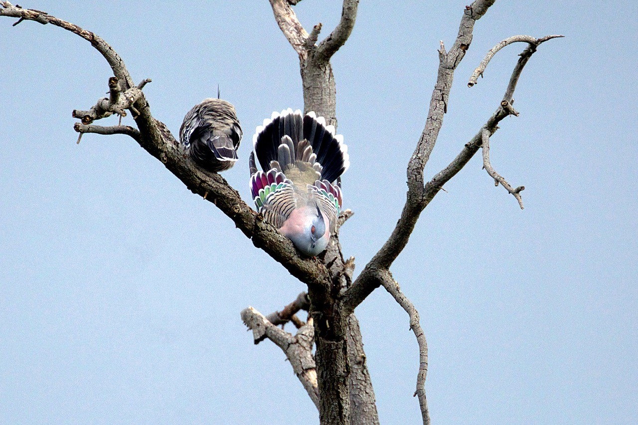 Crested Pigeons (F and M) - Eleanor Dilley