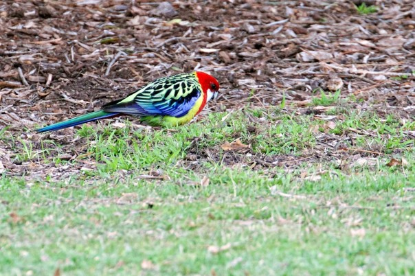 Eastern Rosella - Eleanor Dilley