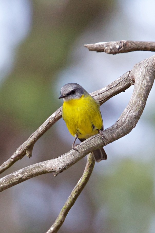 Eastern Yellow Robin - Eleanor Dilley