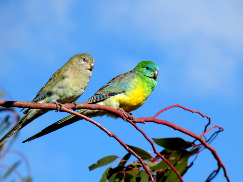 F and M Red-rumped Parrot