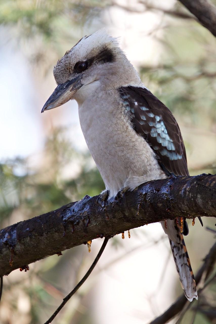 Laughing Kookaburra - Eleanor Dilley