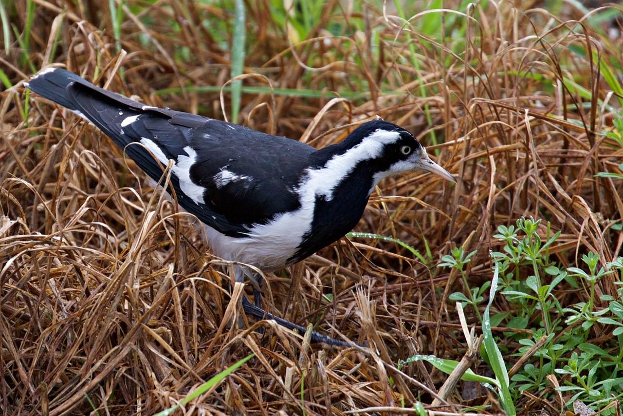 Magpie-lark (F) - Eleanor Dilley