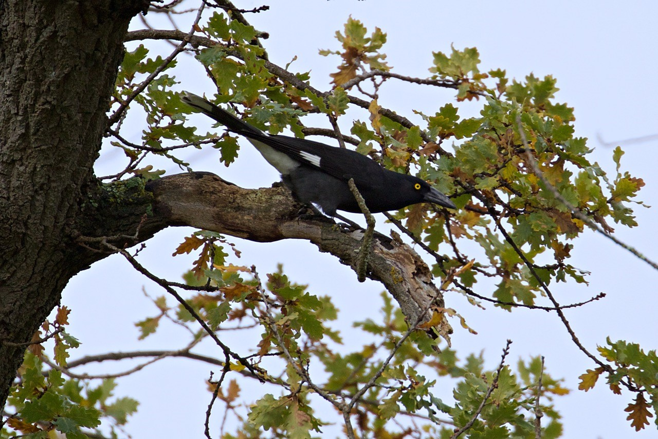 Pied Currawong - Eleanor Dilley