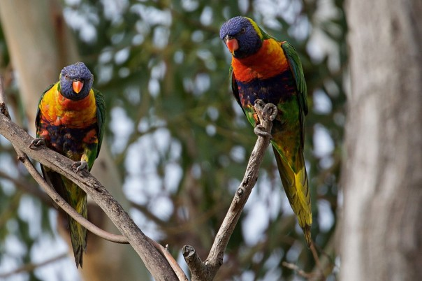 Rainbow Lorikeets - Eleanor Dilley