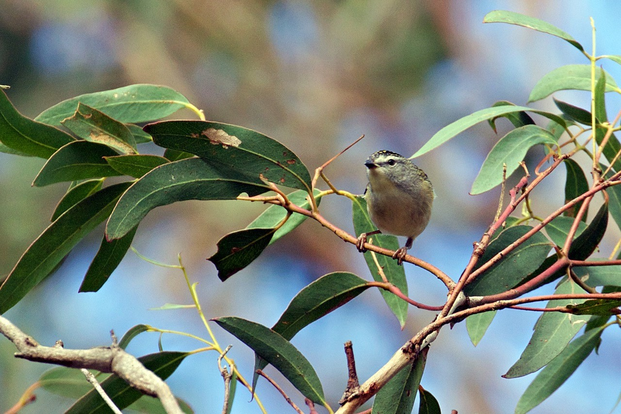 Spotted Pardalote - Eleanor Dilley