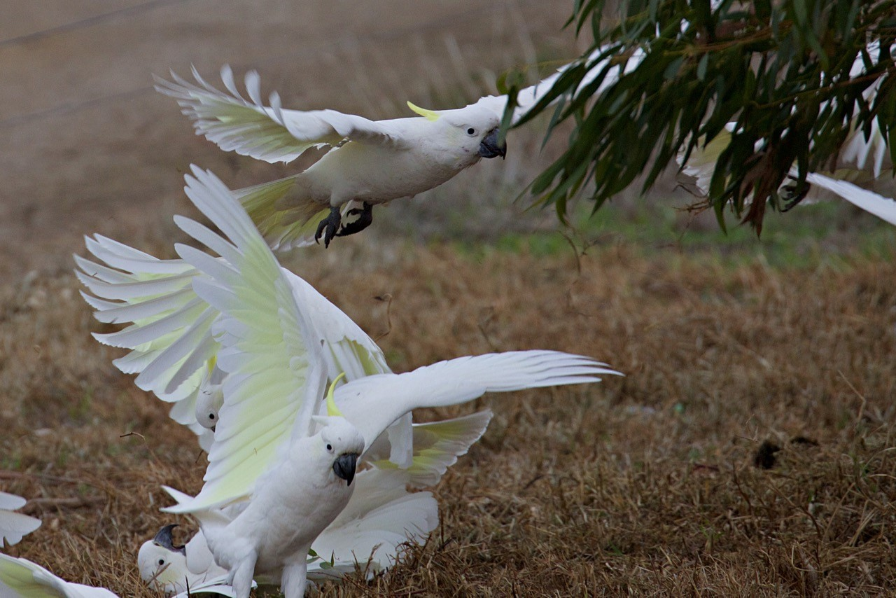 Sulphur-crested Cockatoos - Eleanor Dilley