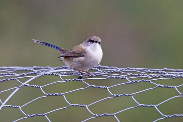 Superb Fairy-wren - Eleanor Dilley