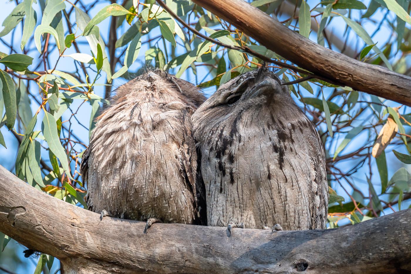 Tawny Frogmouth pair - B Hood.jpg