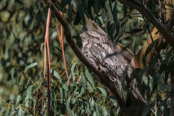 Tawny Frogmouths - B Hood