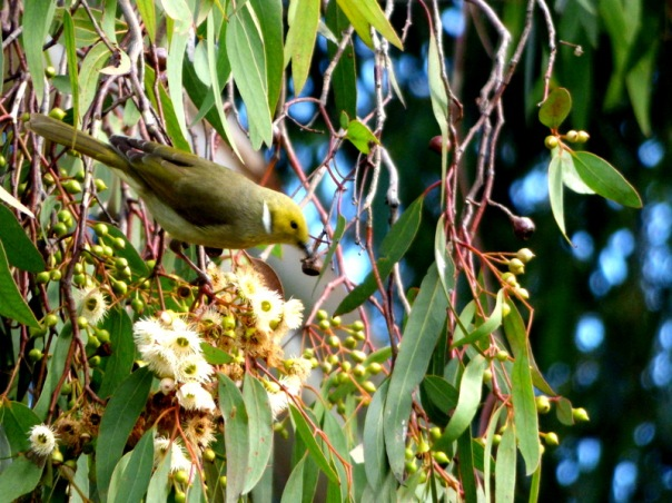 White-plumed Honeyeater - Katmun Loh