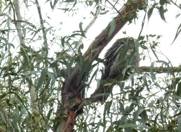 Tawny Frogmouth - Tweeddale - 2