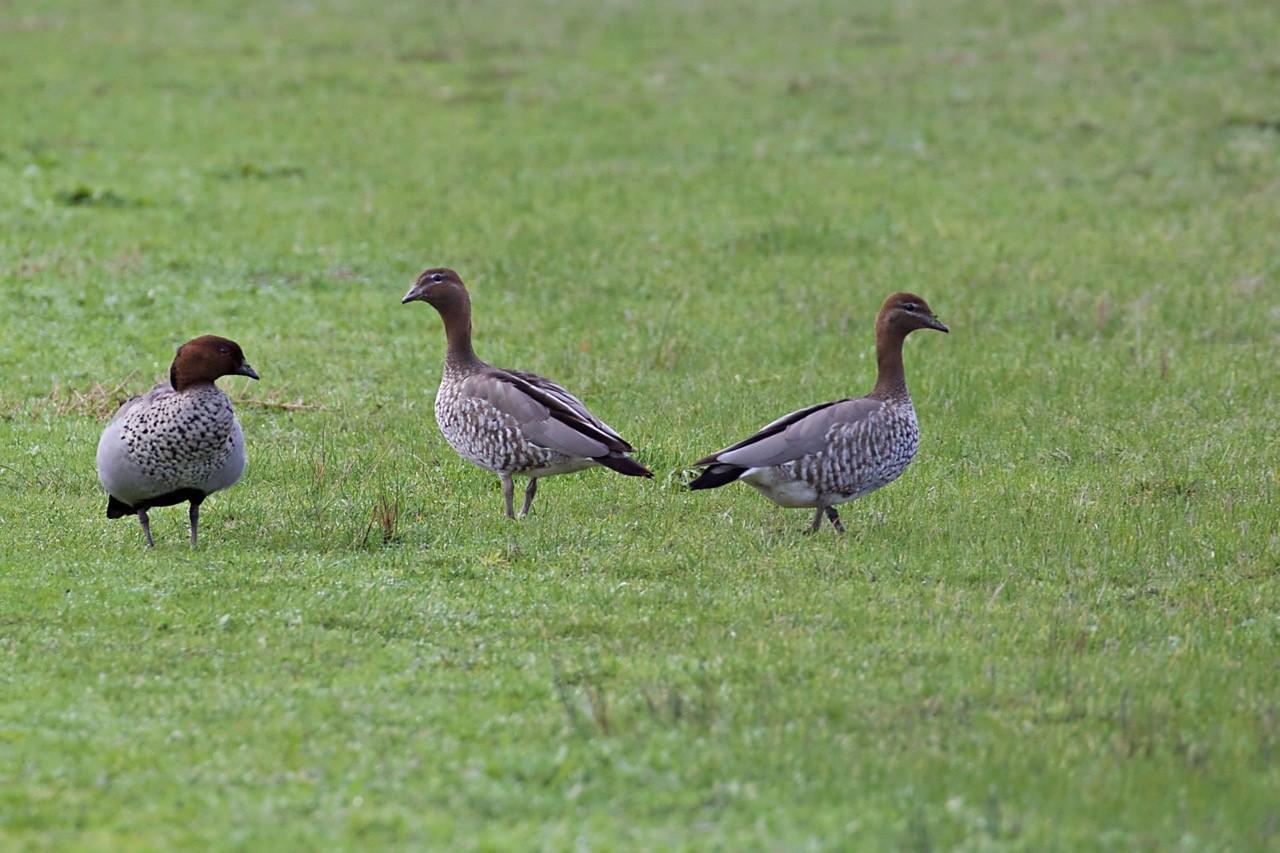 Australian Wood Ducks - E Dilley