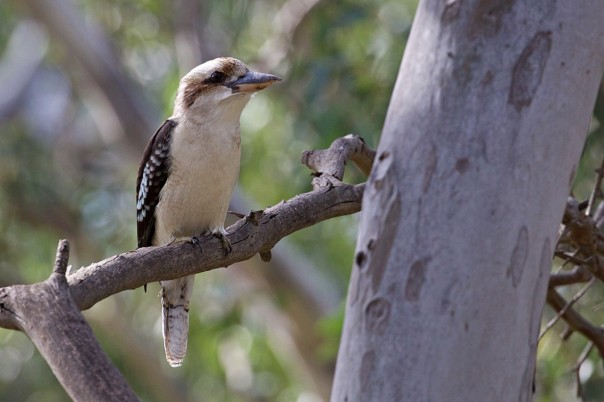 Laughing Kookaburra - E Dilley