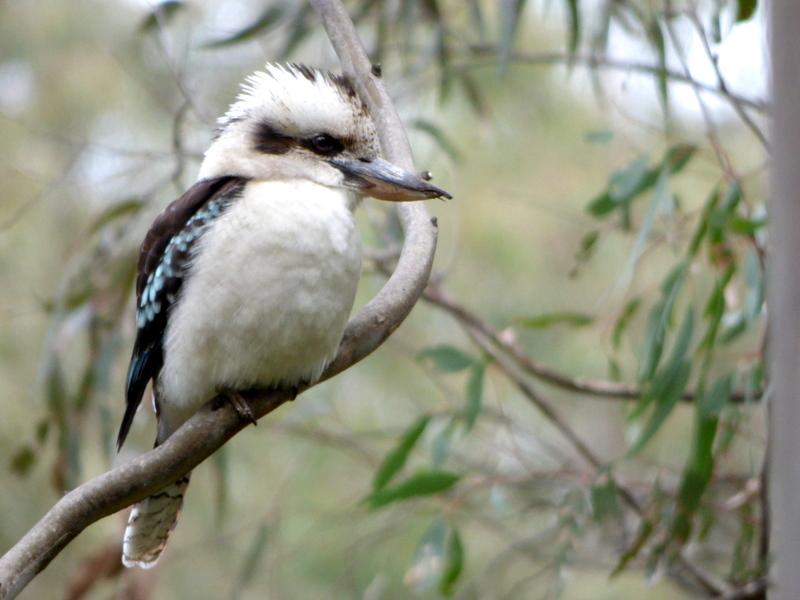 Laughing Kookaburra - Kat Mun Loh