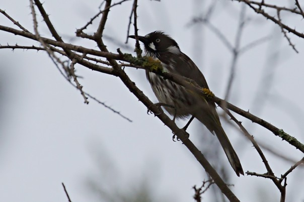 New Holland Honeyeater - E Dilley