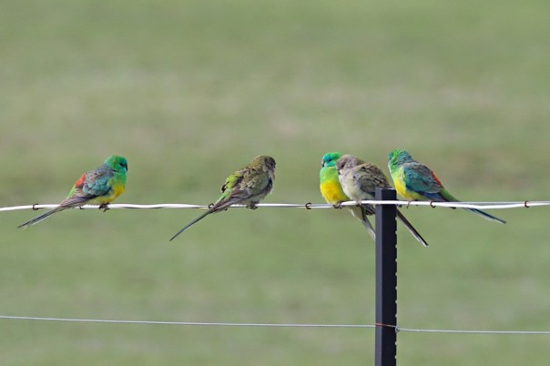 Red-rumped Parrots - E Dilley