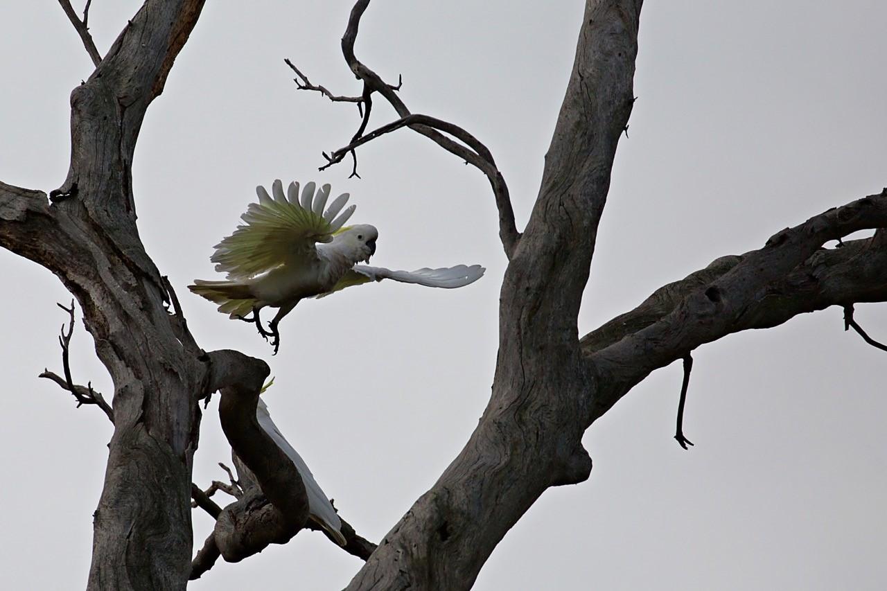 Sulphur-crested Cockatoo - E Dilley