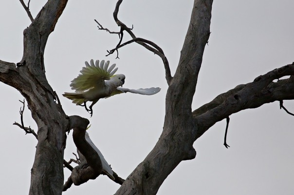 Sulphur-crested Cockatoo - E Dilley