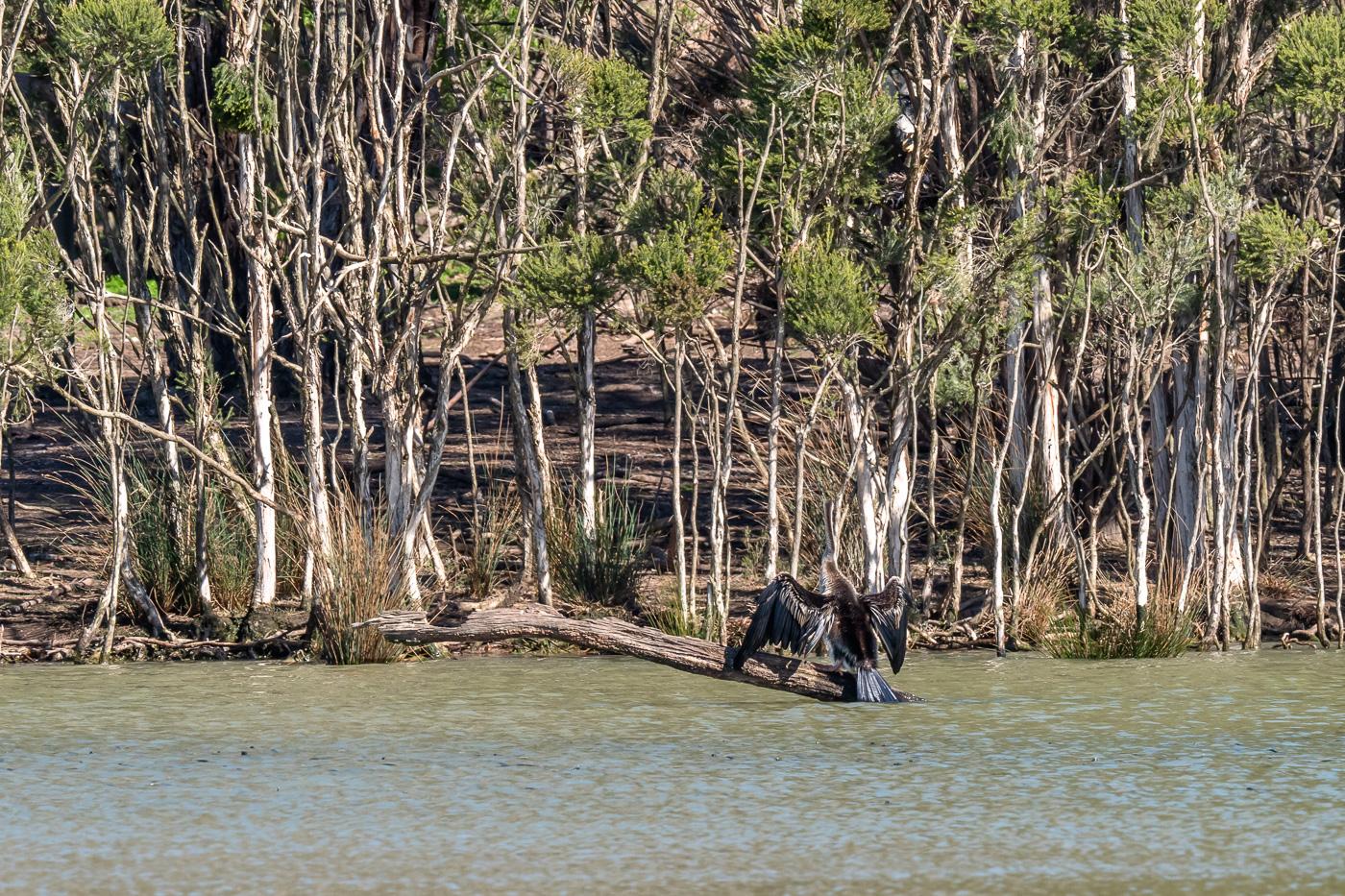 Australasian Darter - B Hood