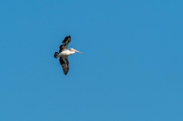 Australian Pelican - B Hood