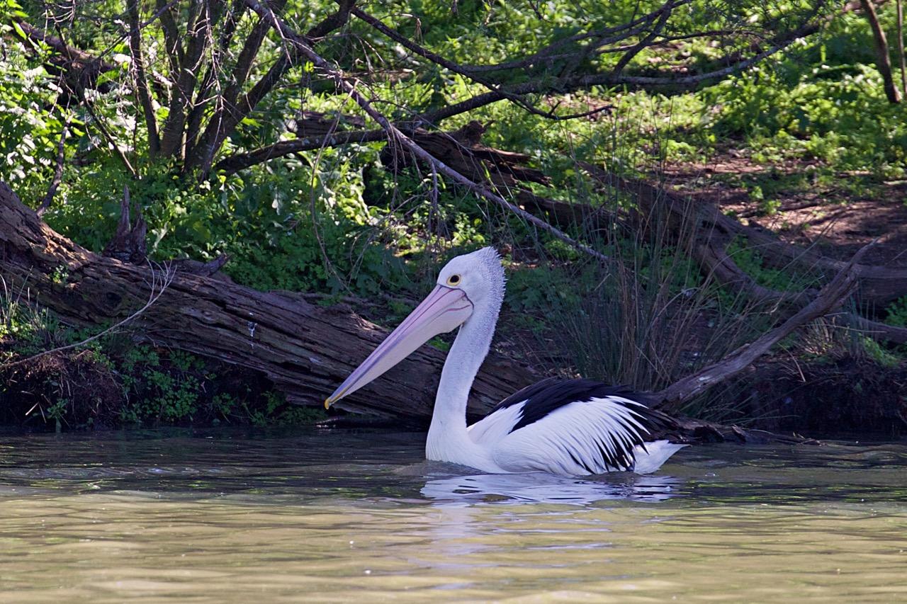 Australian Pelican, Jells Park