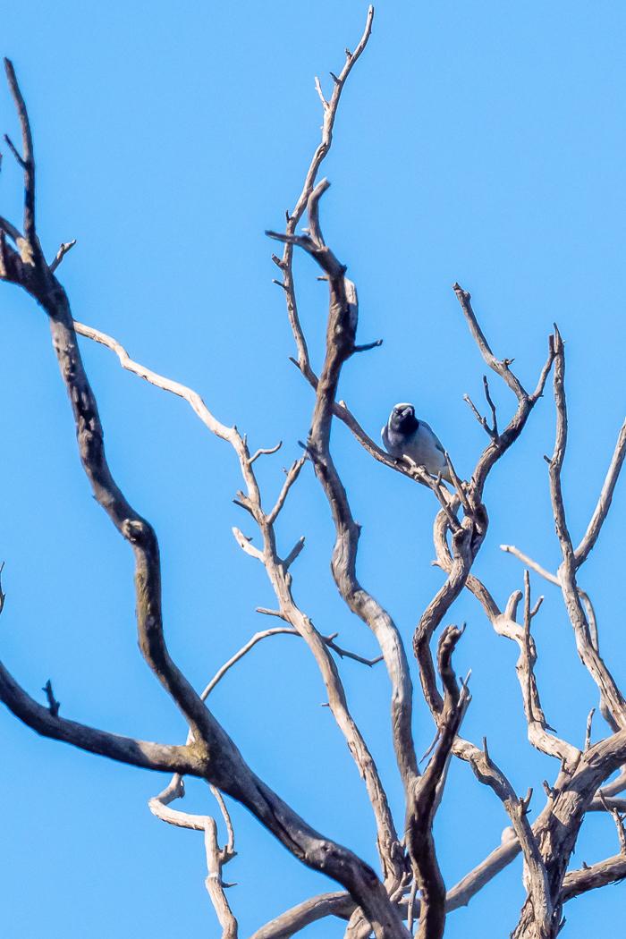 Black-faced Cuckoo-shrike - B Hood