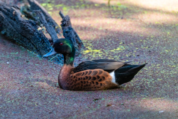 Chestnut Teal male - B Hood