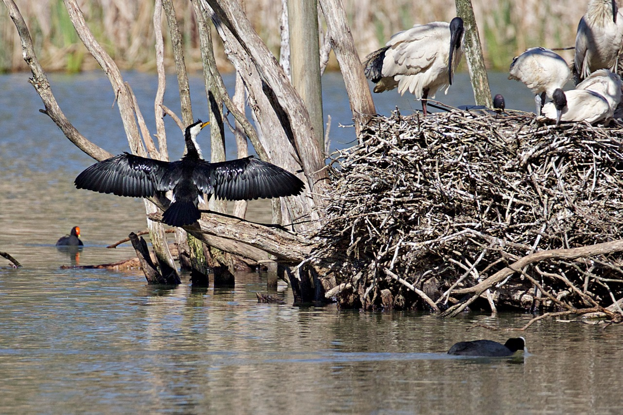 Little Pied Cormorant, Australian White Ibis, Dusky Moorhen, Eurasian Coot, Jells Park