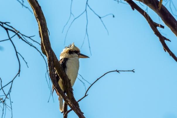 Laughing Kookaburra - B Hood