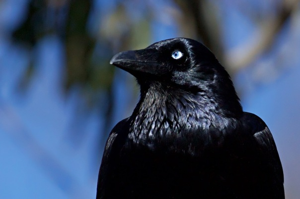 Little Raven, Jells Park