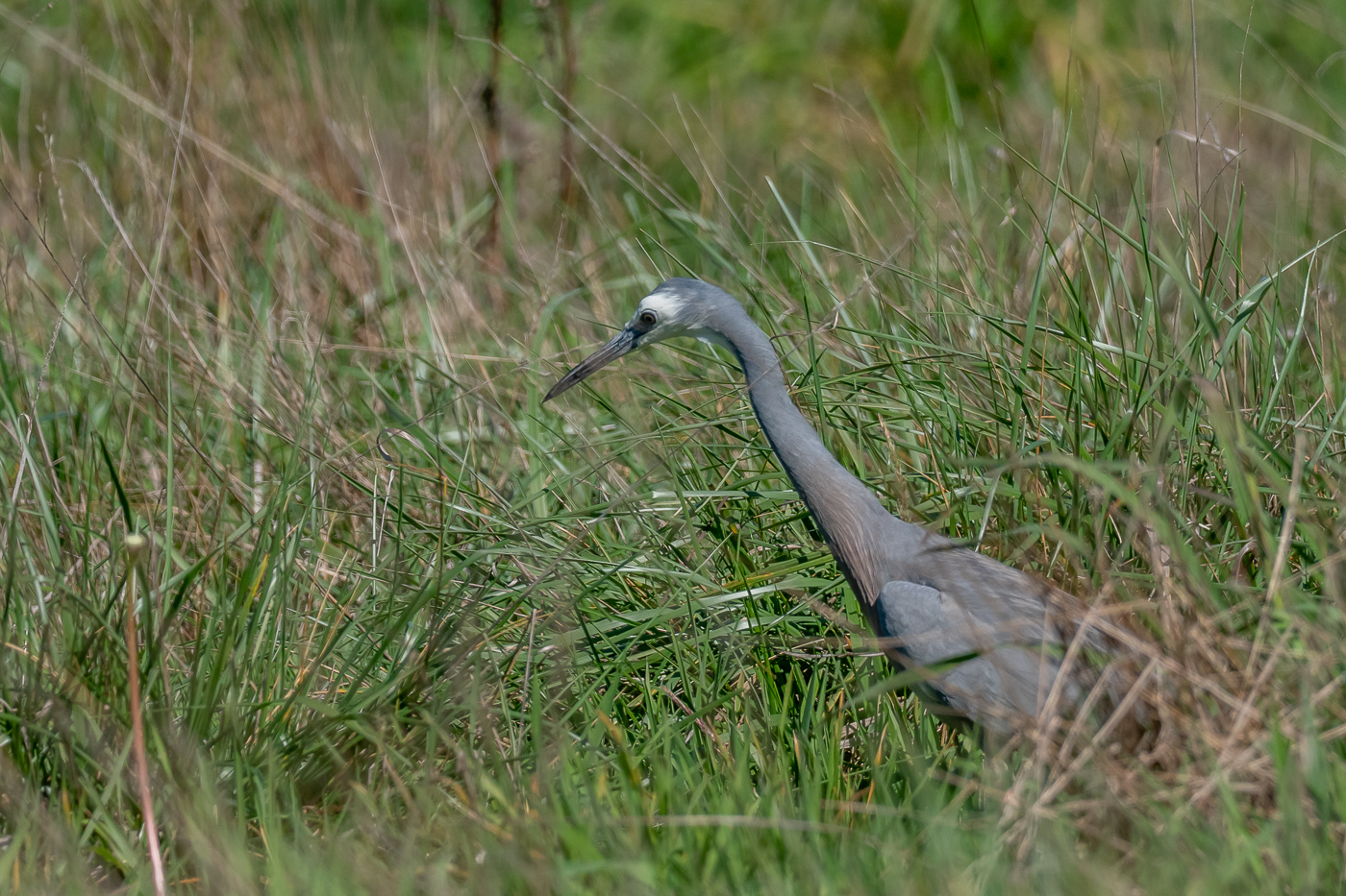 White-faced Heron - B Hood