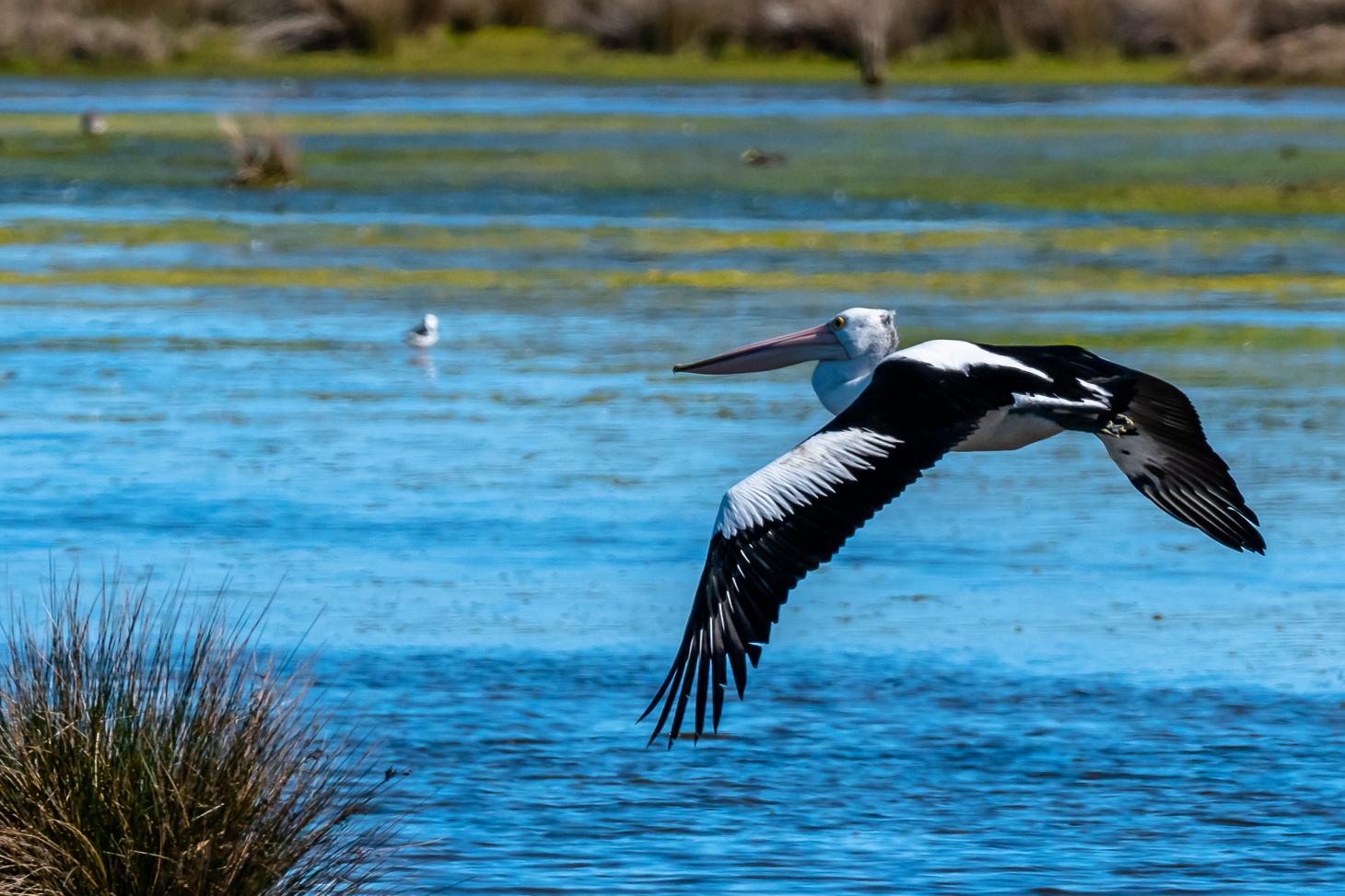 Australian Pelican - Bevan Hood - 2