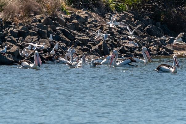 Australian Pelican - Bevan Hood