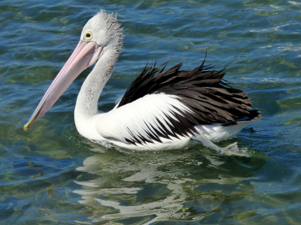 Australian Pelican - Katmun Loh