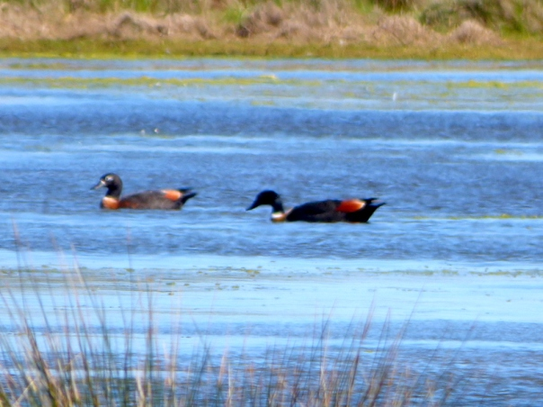 Australian Shelduck f and m - Katmun Loh