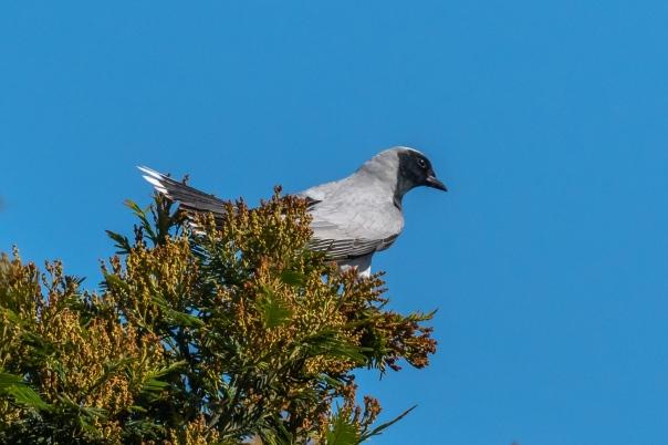 Black-faced Cuckoo-shrike - Bevan Hood