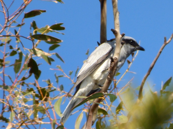 Black-faced Cuckoo Shrike - Katmun Loh